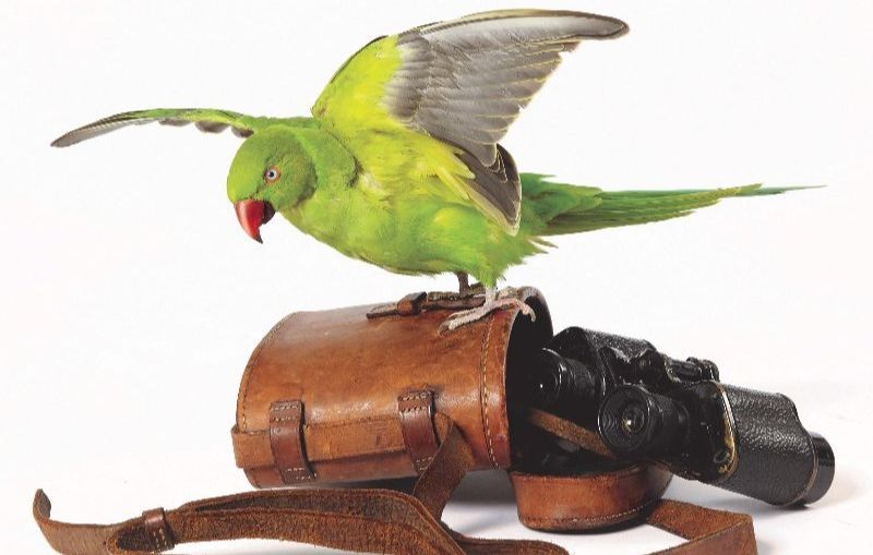 Right to Remain - ring-necked parakeet with antique military binoculars in mirrored case
