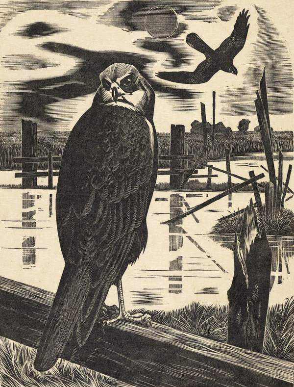George William Lennox Paterson - Hen Harrier, woodcut