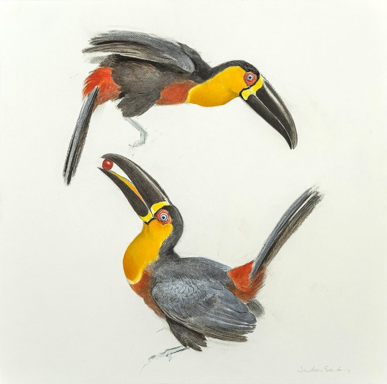 Jonathan Sainsbury - Ariel Toucans, charcoal and watercolour