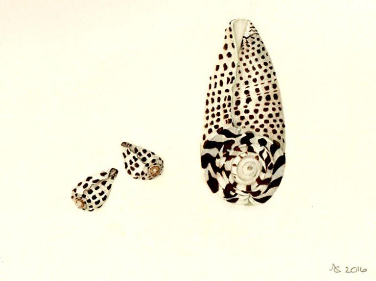 Anne Dana, 'Junonia Shell', watercolour