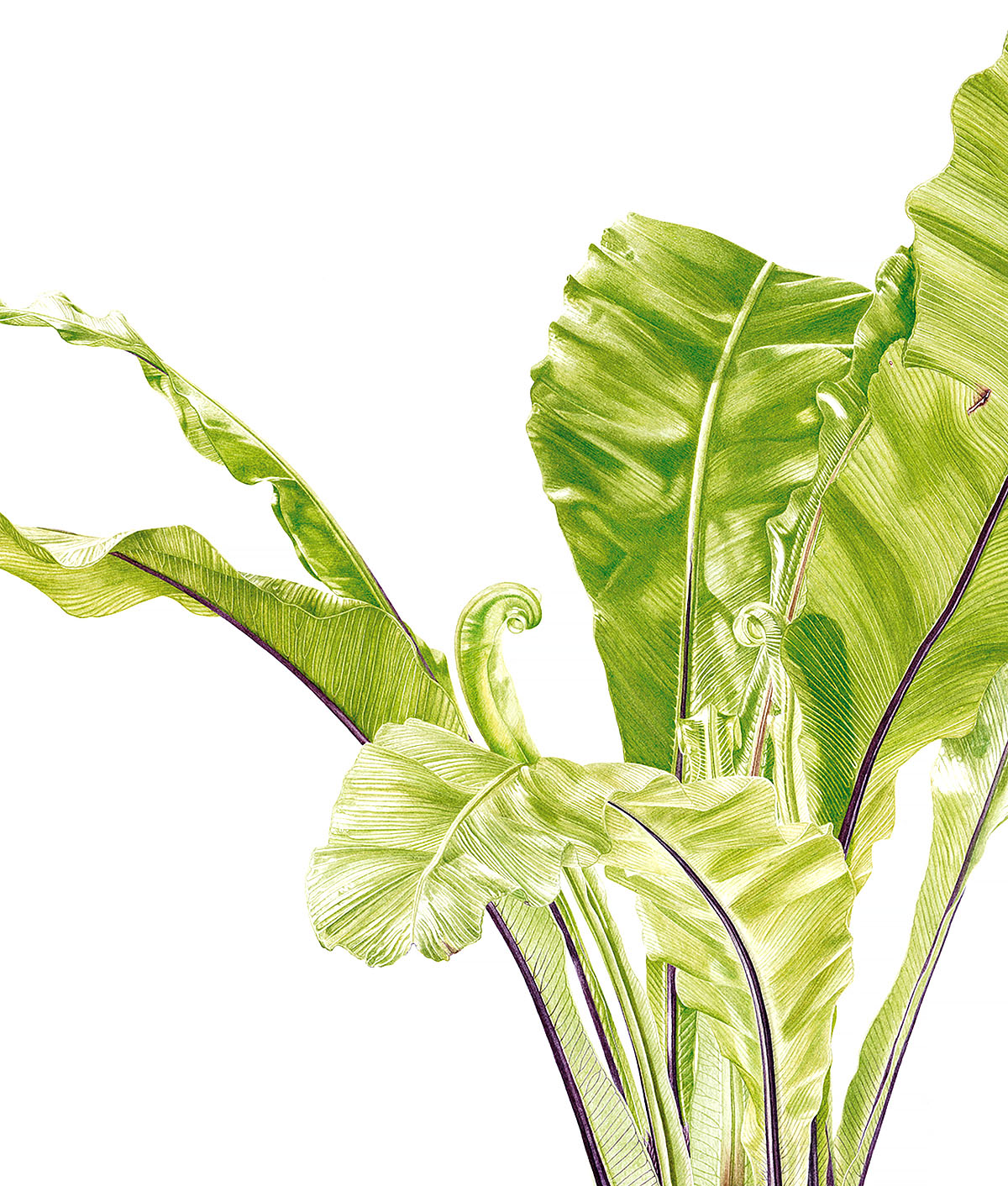 Marianne Hazlewood, 'Asplenium nidus', watercolour on Fabriano 5