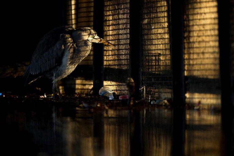 Daniel Trim, 'Behind Bars (Grey heron)'