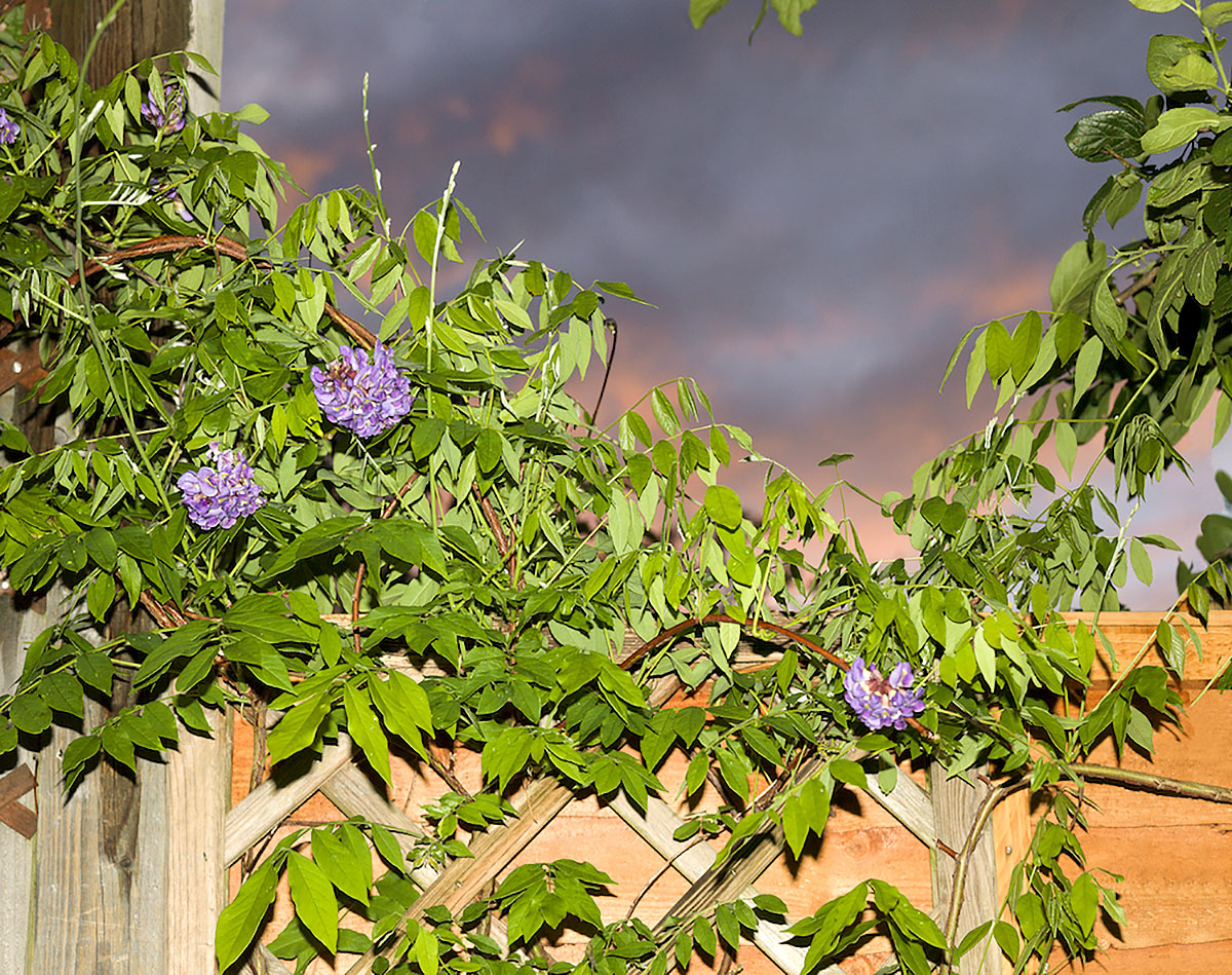 Wendy McMurdo, 'Wisteria', photograph